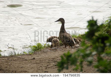 Duck family with ducklings on shore of the lake