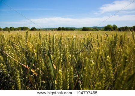 Wheat fields in the Vexin region in France, with a blue sky in background