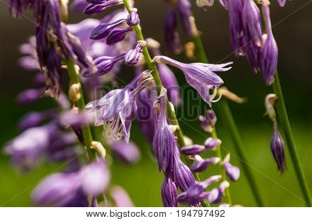 a close up of the many Hosta blooms