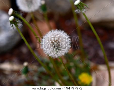White dandelion flower Dandelion flower early in the morning, with seeds ready to blow