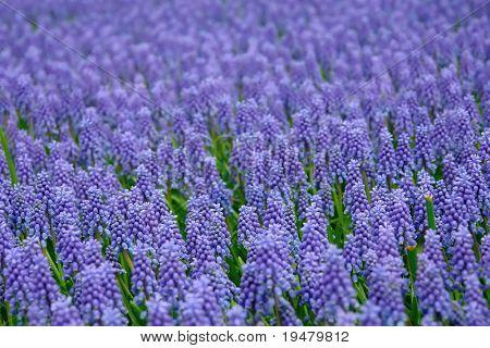 Natural backgrounds: Bluebells (Grape Hyacinth, Muscari armeniacum)