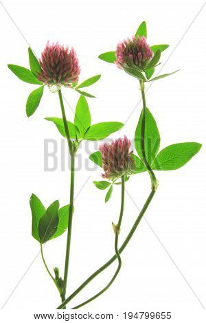 Red-clover or Meadow Clover (Trifolium pratense) flowering plant against white background