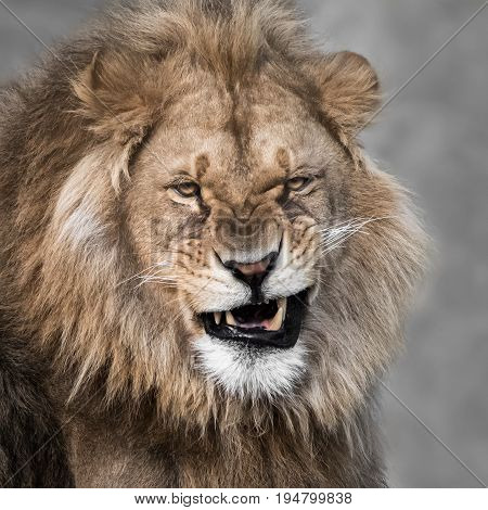 A Frontal Portrait of an Snarling Lion Against a Mottled Gray Background