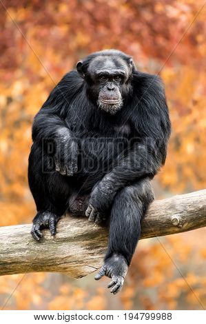 Frontal Portrait of a Young Chimpanzee Sitting in a Tree Branch Against a Background of Colorful Fall Leaves