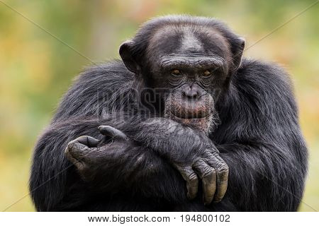 A Frontal Portrait of an Alpha Male Chimpanzee Sitting with His Arms Crossed