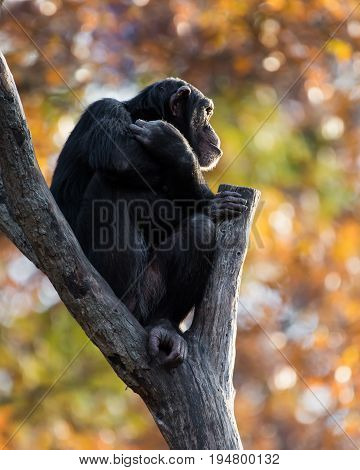 Profile Portrait of a Young Chimpanzee Sitting in a Tree Branch Against a Background of Colorful Fall Leaves