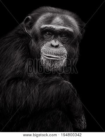 Frontal Portrait of a Male Chimpanzee Against a Black Background