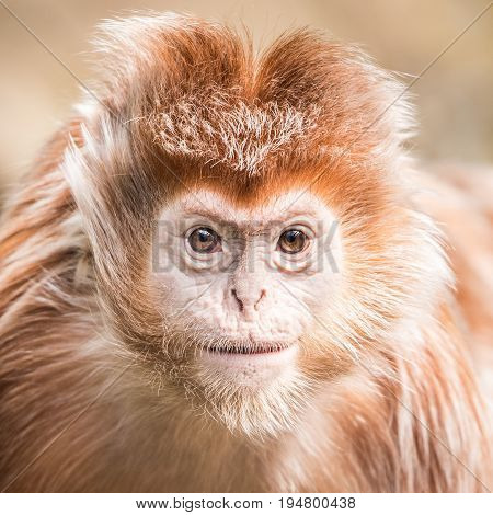 Frontal Portrait of a Juvenile Ebony Langur with Spiked Hairdo