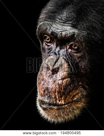A Three Quarter Portrait of a Chimpanzee Against a Black Background