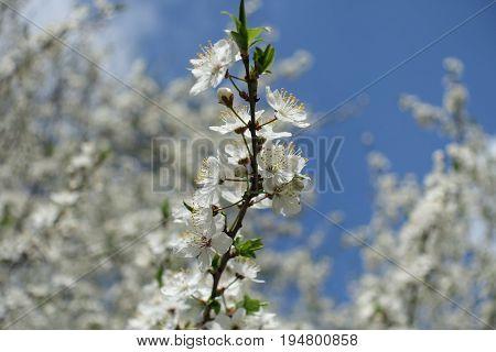 Blossoming Branch Of Prunus Cerasifera Against Blue Sky