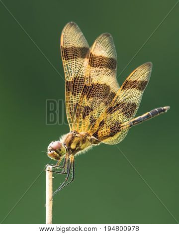 Profile Portrait of a Halloween Pennant  Dragonfly Against a Dark Green Background