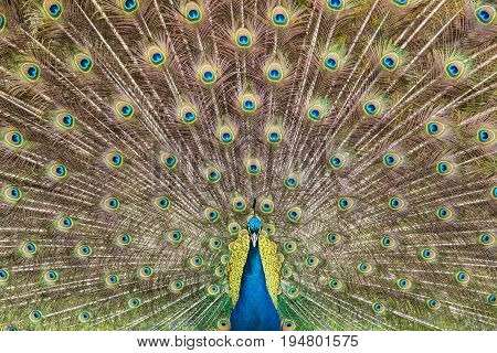 Frontal Portrait of Peacock Showing Off Full Plumage