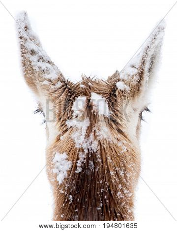 The Back of the Head of a Pronghorn Covered in Snow
