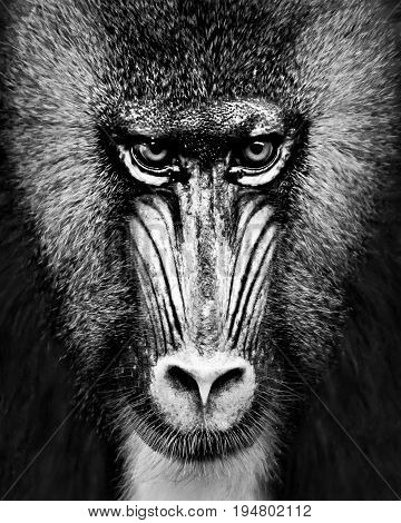 A Black and White Frontal Portrait of a Male Mandrill Against a Black Background