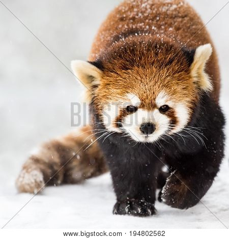 A Cute Red Panda Walking in the Snow