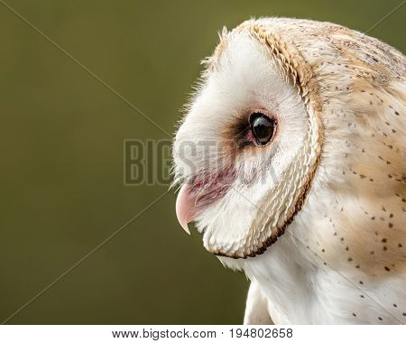 Profile Portrait of a Barn Owl Against a Dark Green and Yellow Background