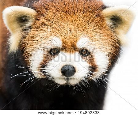 Frontal Portrait of a Red Panda Against a White Background