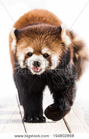 Cute Red Panda Walking with Tongue Out
