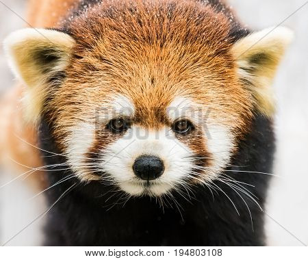 A Frontal Portrait of a Red Panda Out in the Snow