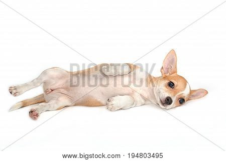 Cute Chihuahua Puppy Relax And Lying Down On White