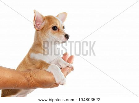Cute Chihuahua Puppy Relax And Lying Down On Hand