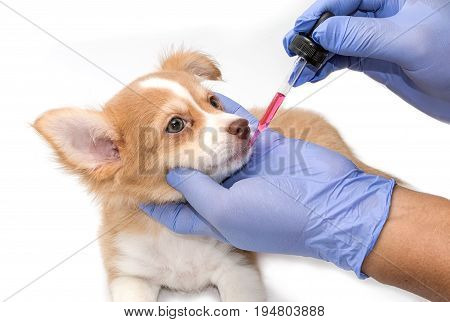 Vet Feeding Medicine With A Syringe To Chihuahua Puppy
