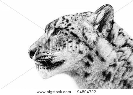Profile Portrait of Snow Leopard Against White Background