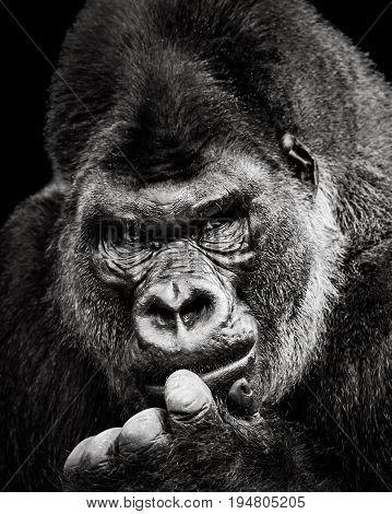 Black and White Frontal Portrait of a Western Lowland Gorilla