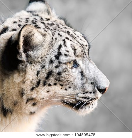 Profile Portrait of a Snow Leopard Against a Mottled Gray Background