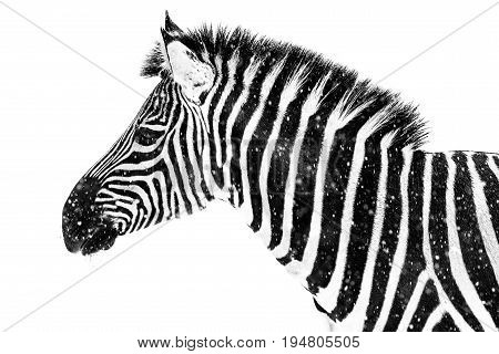 Profile Portrait of a Plains Zebra Against a White Background