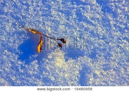 Teil tree nut on snow