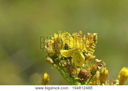 Stock Photo - Yellow blossom of fresh wild Perforate St John's-wort mountain tea - Hypericum perforatum - on a blurred background
