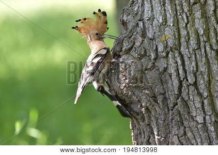 Nice bird with crest Hoopoe (Upupa epops)