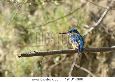 Beautiful kingfisher in natural habitat (alcedo atthis)