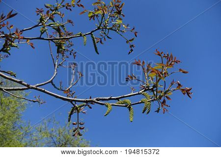 Florescence Of Juglans Regia Tree In Spring