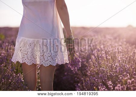 Gathering a bouquet of lavender. Girl in whute dress hand holding a bouquet of fresh lavender in lavender field