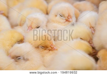 Rural market. Dressage cling. There are a lot of newborn chicks in the frame. Color yellow white