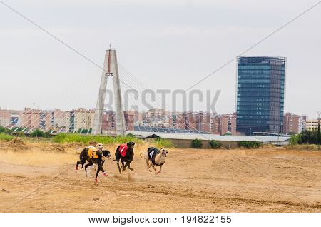 Several greyhounds running in a race in the city of Badajoz