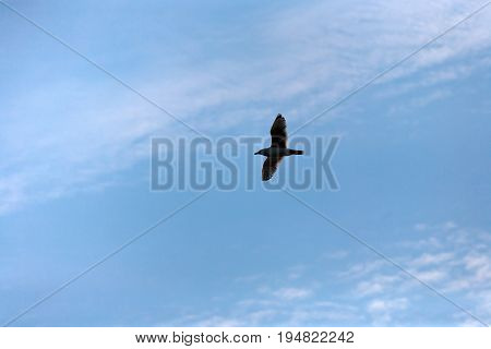 Flying bird in clear blue sky, seagull gliding in the blue. Nature background