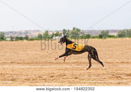 Spanish Greyhound running and looking at camera