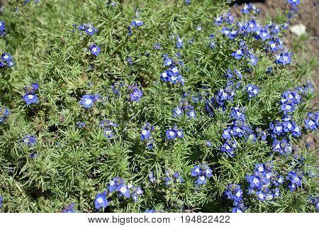 Veronica Armena In Full Bloom In Spring