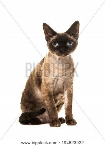 Pretty sitting seal point devon rex cat with blue eyes looking straight into the camera seen from the side isolated on a white background