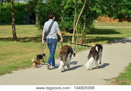 A woman is walking different breeds of dogs simultaneously in a park