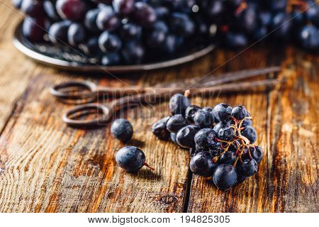 Blue Vine Grapes and Rusty Scissors on Wooden Background.