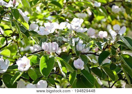 Quince Blossom Cydonia Oblonga Spring Tree Flowers
