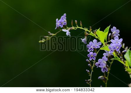 Purple Flower : Duranta Erecta L , Golden Dewdrop Flowers