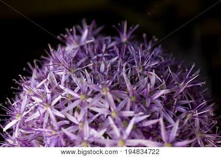 Allium background. Purple flowers texture. Summer flower
