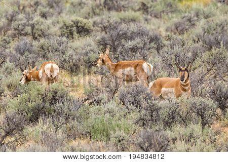 Three Wild Pronghorn Sheep in Wyoming Sagebrush