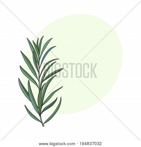 Beautiful hand drawn melaleuca twig, branch, floral decoration element, sketch vector illustration with space for text.