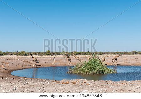 Seven Namibian giraffes giraffa camelopardalis angolensis at a waterhole in Northern Namibia